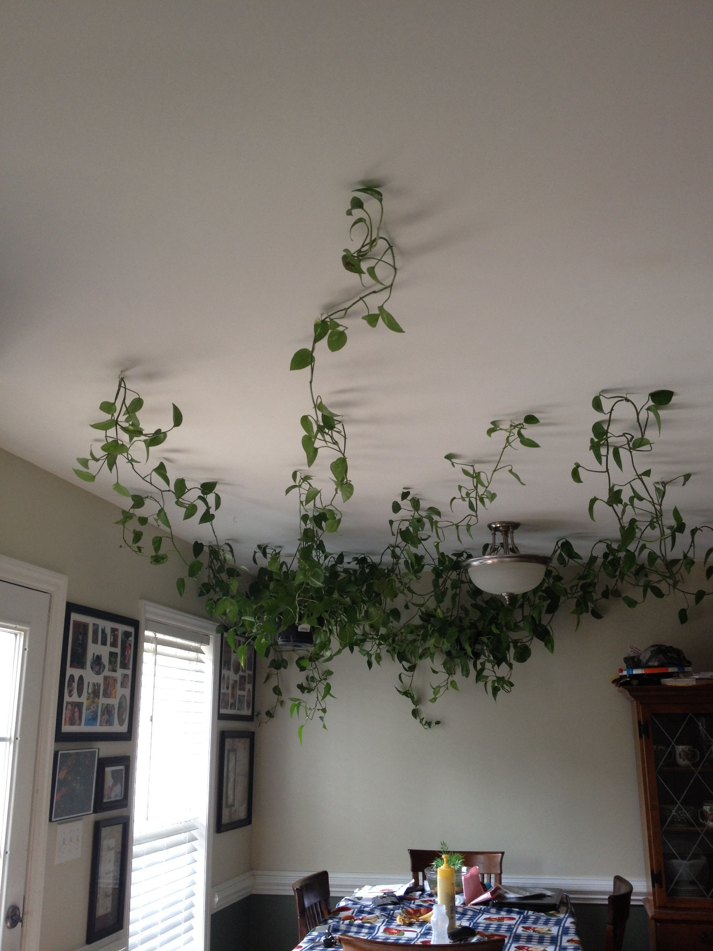 Hanging Vine Plants Across The Ceiling Use Hanging Hooks To Place Vines Hanging Vine Plants Across In 2020 Fake Plants Decor Room With Plants Fake Hanging Plants