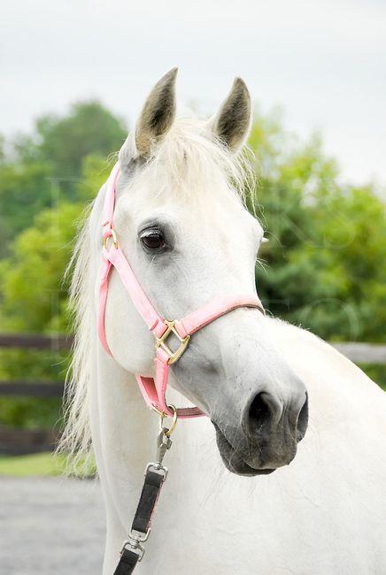 Horse in pink halter, a very feminine Arabian mare head ...