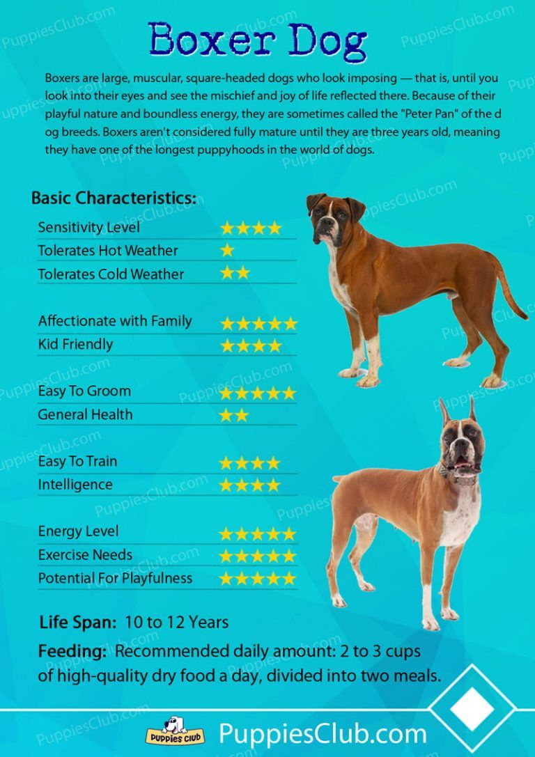 Top 10 Boxer Dog Facts Surprizing Things You Should Know Boxer