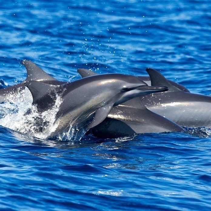 Spinner dolphins in Sri Lanka a stunning reminder of why we need to act now on saving our oceans  rp: @greenpeaceuk . . .  #igtravel #worldenergysolutions #cleanenergy #antifracking #environment #savetheplanet #killingtheplanet #globalwarming #cleanuptime #saynotooil #begreen #makeadifference #cleanocean #peace #cleanocean #recycling #energy #tourism #consciousness #universe #awakening #waste #travelblogger #bethechange #wastemanagement #plasticocean #fracking #wastedisposal #loveandlight…