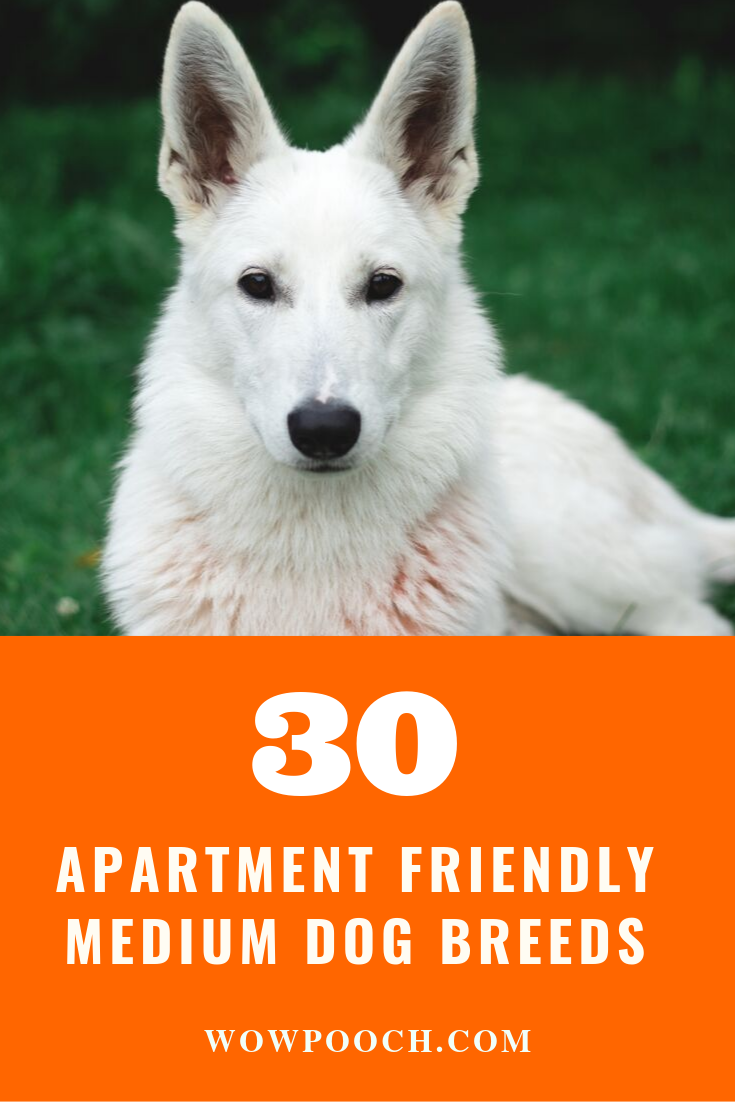 How Many Of You Want An Apartment Friendly Puppy Or Dog Maybe Almost Everyone Preference Of Medi Dog Breeds Medium Medium Dogs Medium Sized Dogs Breeds