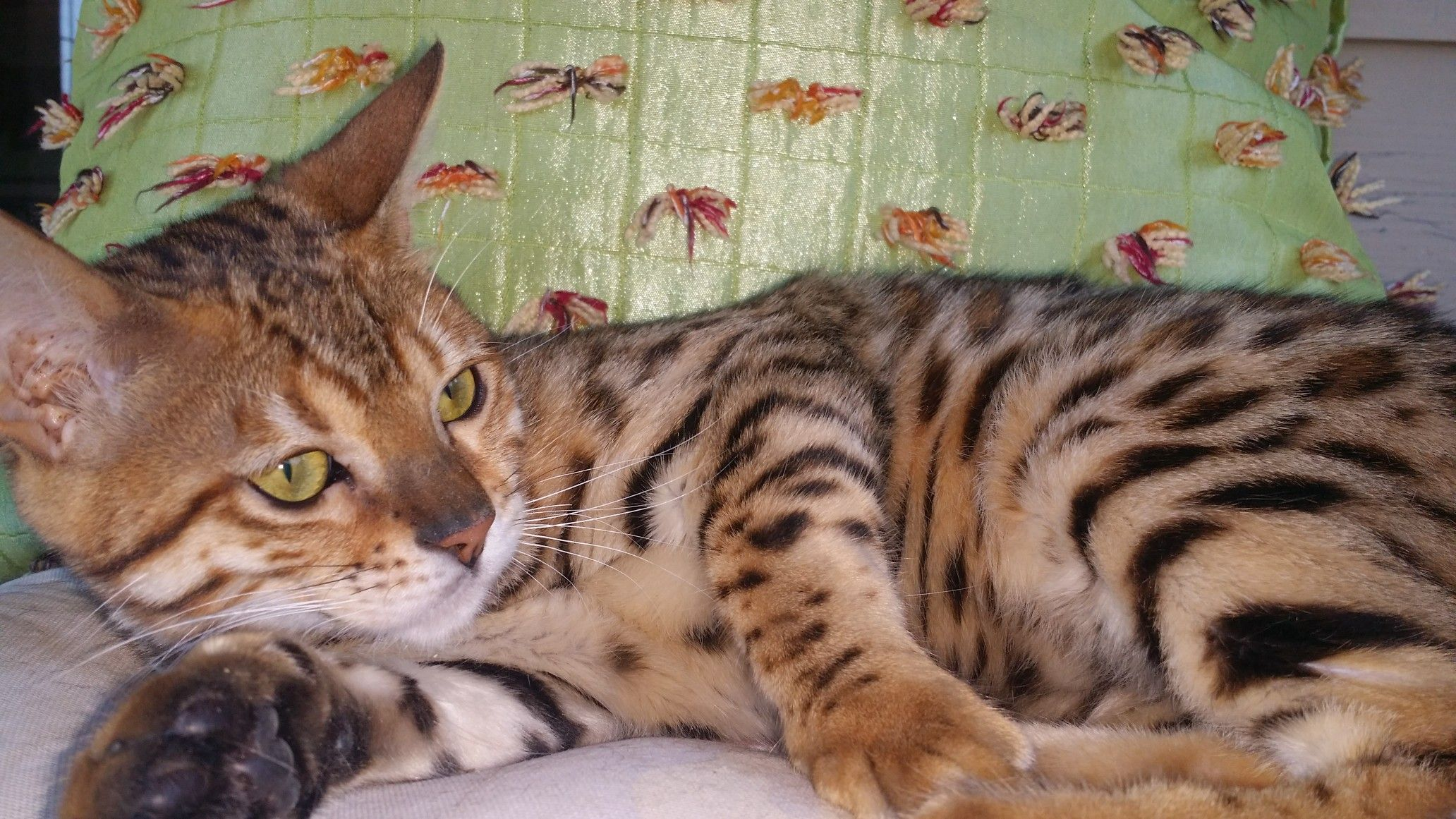 Brown tabby bengal kitten age 6 months...belongs to