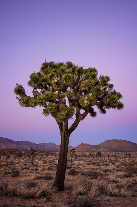 I Speak for the Trees - I don't know if Dr. Suess was inspired by these particular trees in Joshua Tree National Park, California, but as I am driving along I often hear the voice of The Lorax. http://annemckinnell.com/2014/02/21/i-speak-for-the-trees/ #photo #travel #blog #California #tree #nationalpark