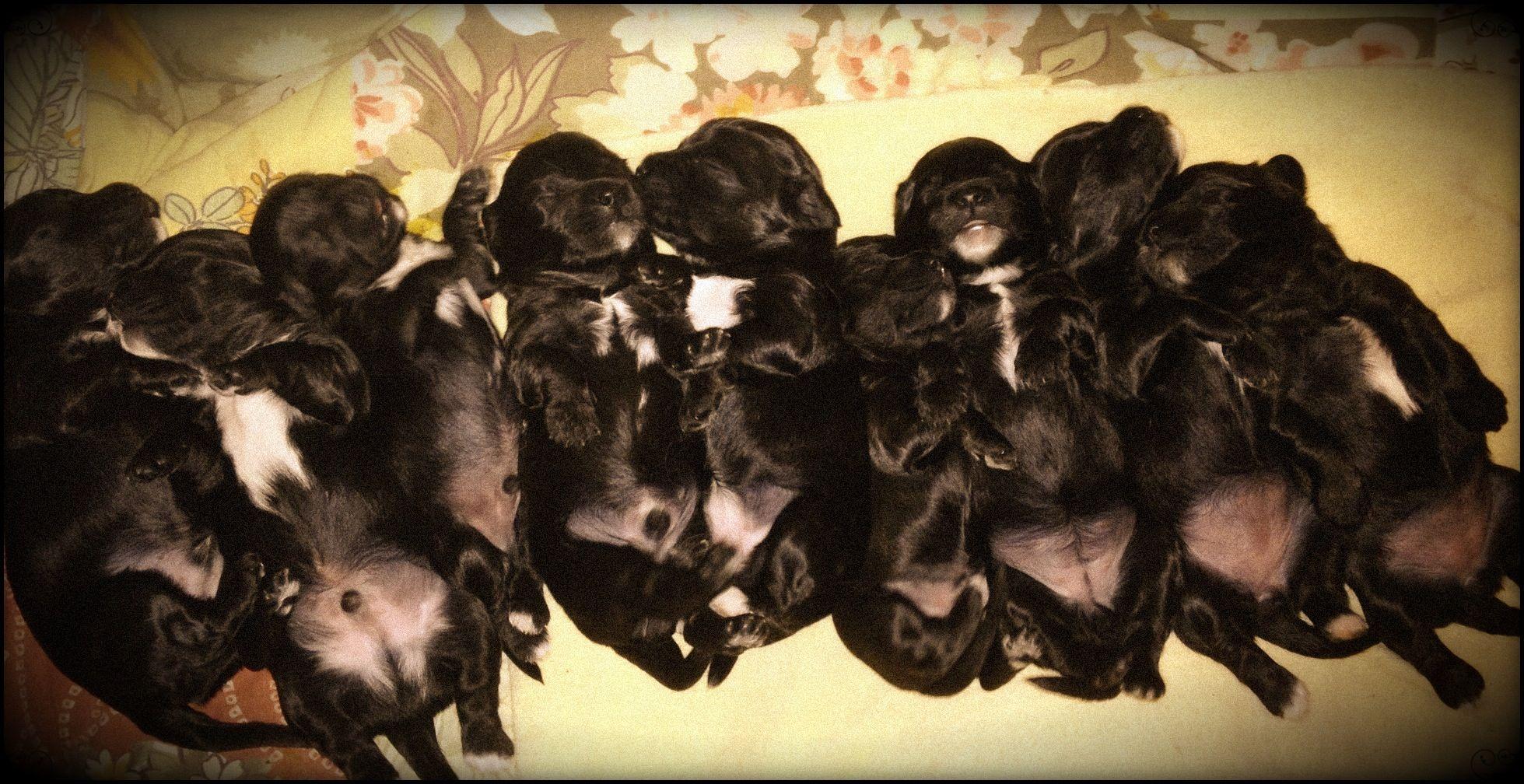 Cavoodle Cavapoo Puppies Cavapoo Puppies Puppies Cavapoo
