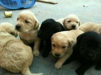 Show Quality Labrador Puppies For Sale In Jaipur Cheap Price And