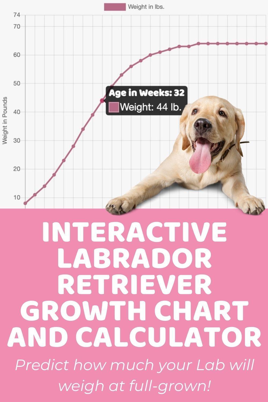 Interactive Labrador Retriever Growth Chart and Calculator   Puppy ...