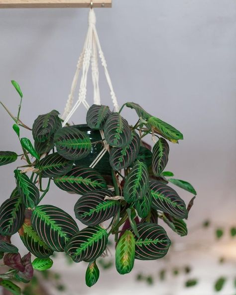 Photo of How To Grow Prayer Plants & Prayer Plant Propagation