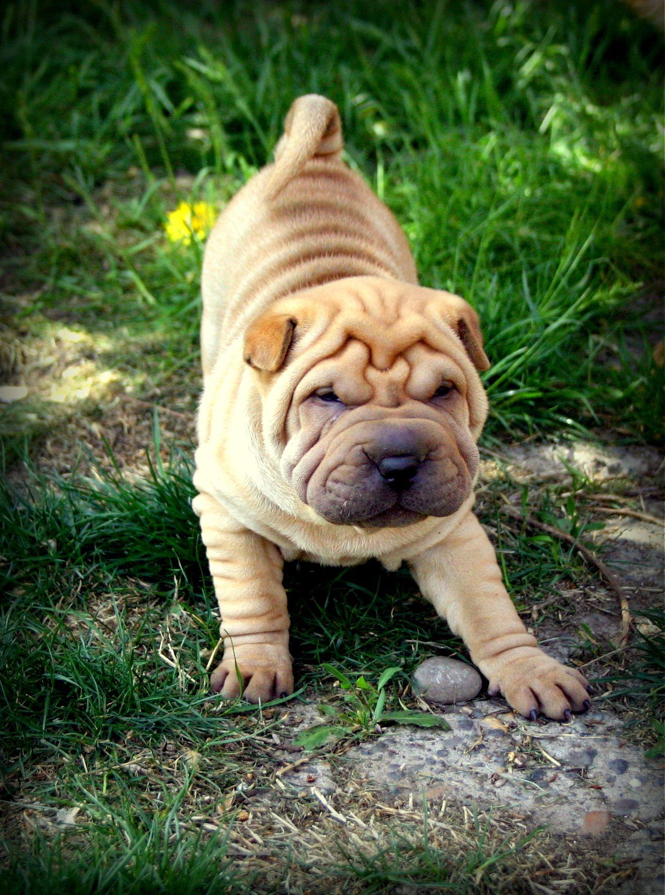 shar pei puppy.. melts my heart! Shar pei puppies, Baby