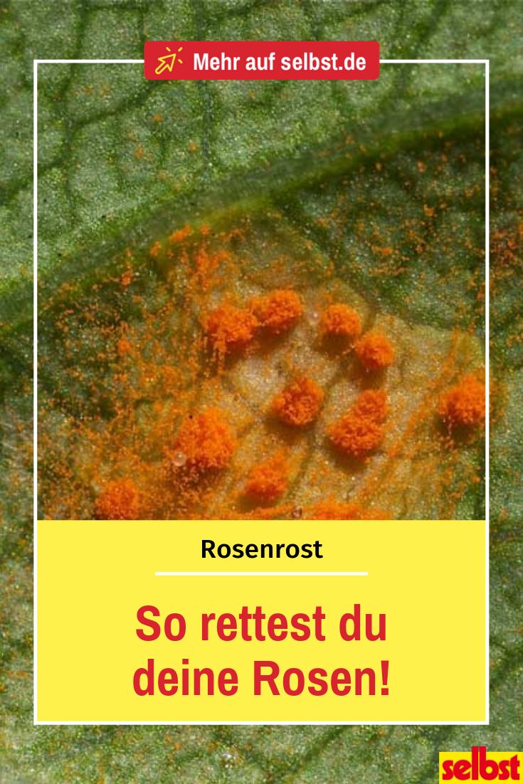 Atemberaubend Rosenrost erkennen, bekämpfen und vorbeugen | Pflanzenkrankheiten &PI_71