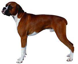 Boxer www.dogsandpuppies.co.uk Dogs, puppies, Hound dog