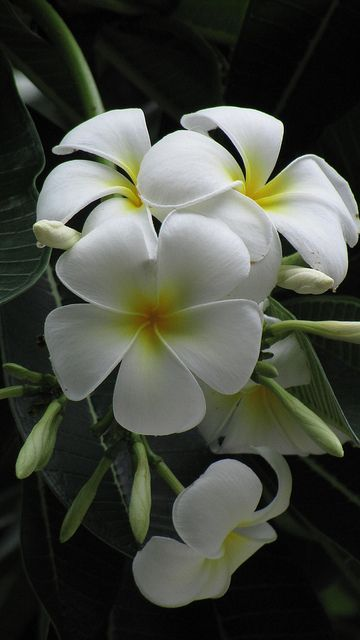 Img2004 hawaii flowers and flower hawaii mightylinksfo
