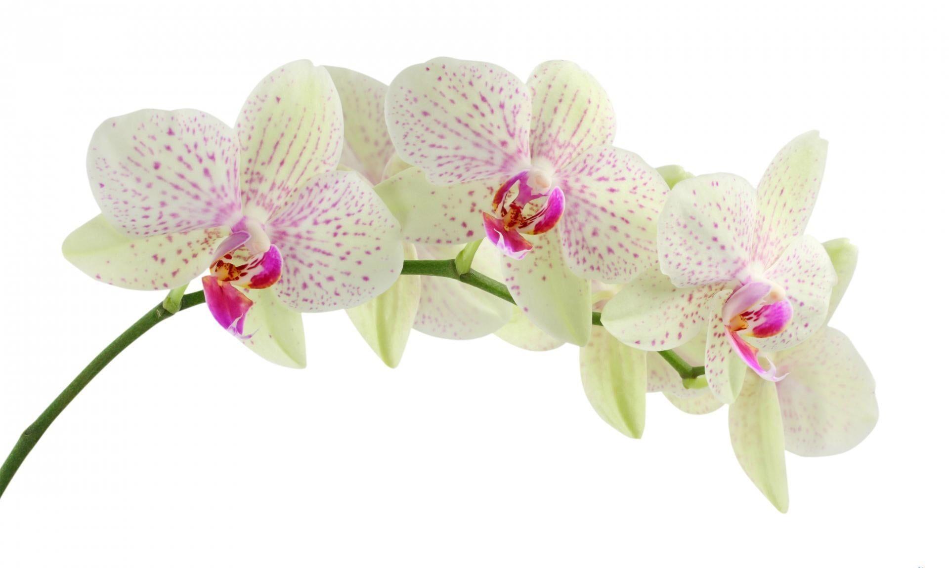 Green And Pink Flowers Orchid Flower White Branch Background 1080p Wallpaper Hdwallpaper Desktop In 2020 Orchid Flower Orchid Wallpaper White Orchids