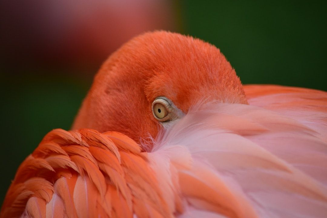 Flamingo Photo By Bruno Miranda (@bmiranda) On Unsplash
