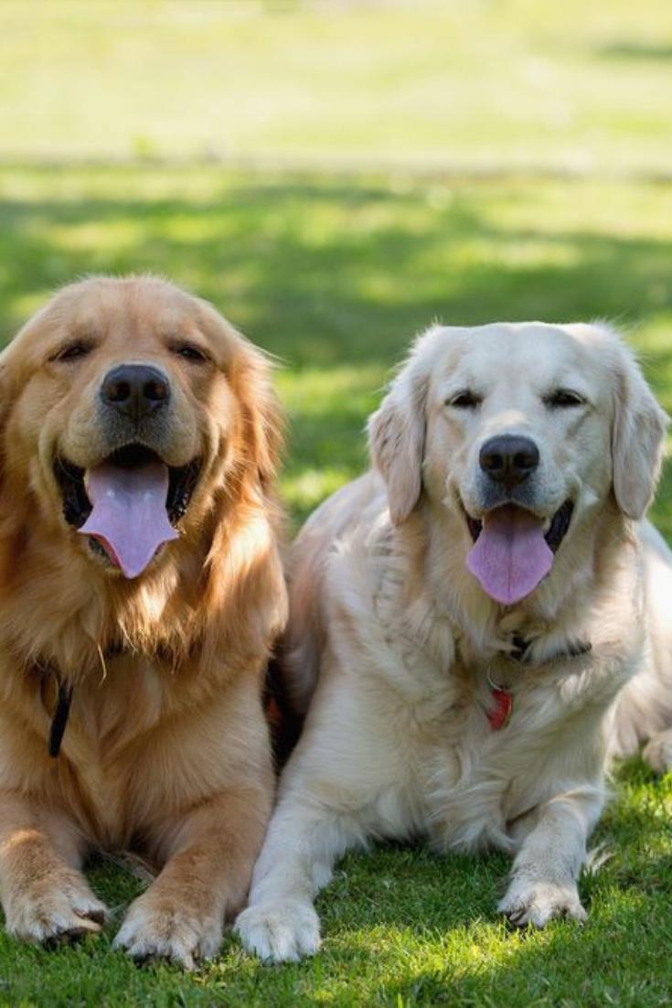 Golden Retriever Puppy Portrait In Heather Goldenretriever In 2020 Golden Retriever Retriever Puppy Golden Retriever Puppy