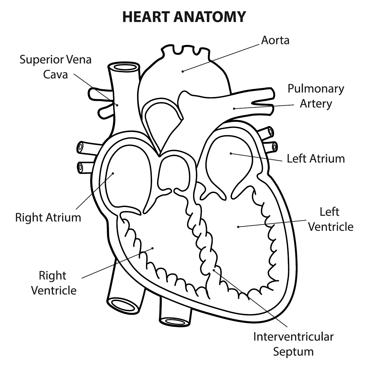 What Are The Parts That Make Up A Human Heart Diagrams