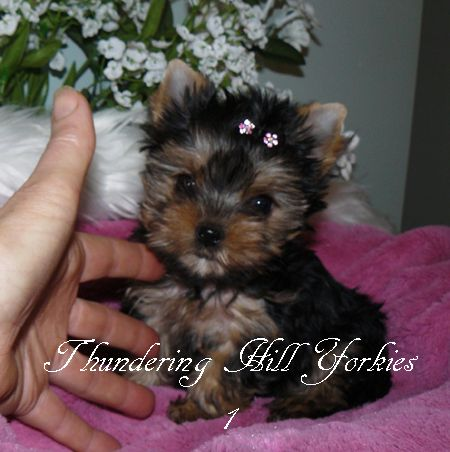 Yorkie Puppies For Sale B C Canada Teacup Yorkies For Sale Yorkie Puppy Yorkie Puppy For Sale Puppies For Sale