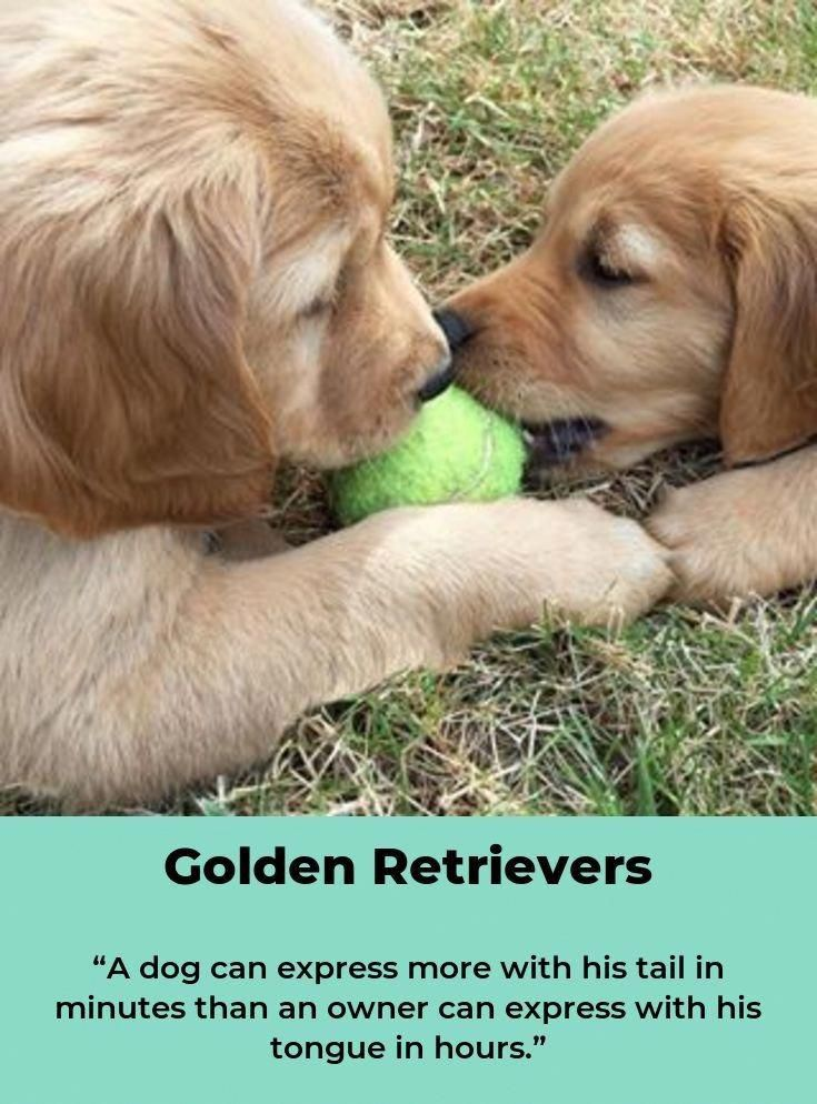Everything About The Friendly Golden Retriever Puppy Personality