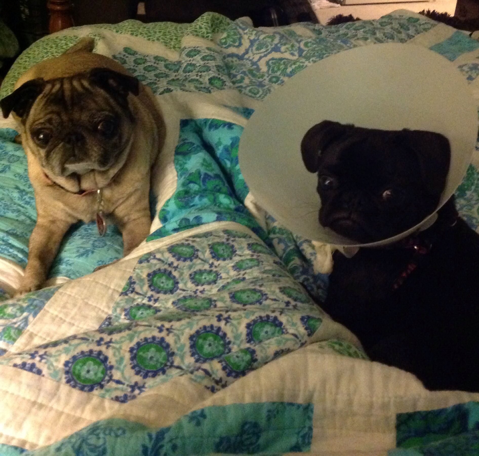 Older Pug Being Protective Of Pug Puppy After Surgery With