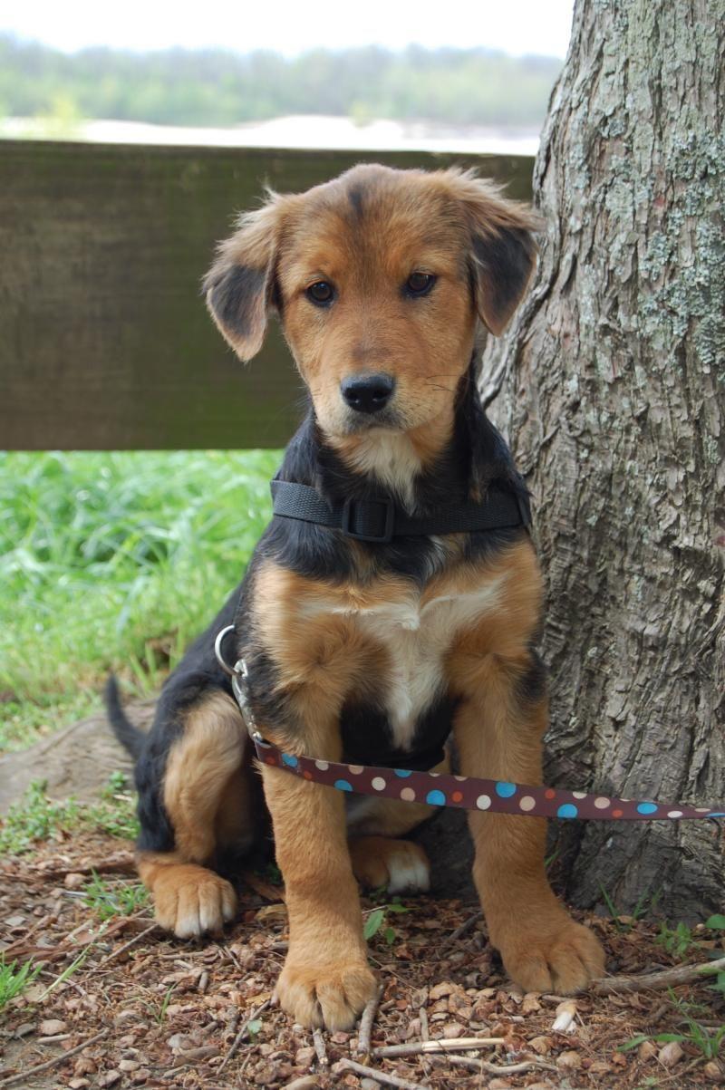 Adopt pearl on petfinder shepherd mix dog dogs