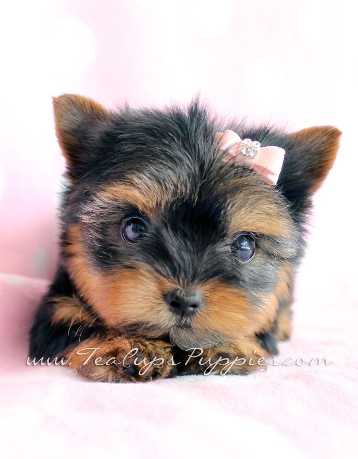 Adorable Yorkie Puppy by teacupspuppies.com