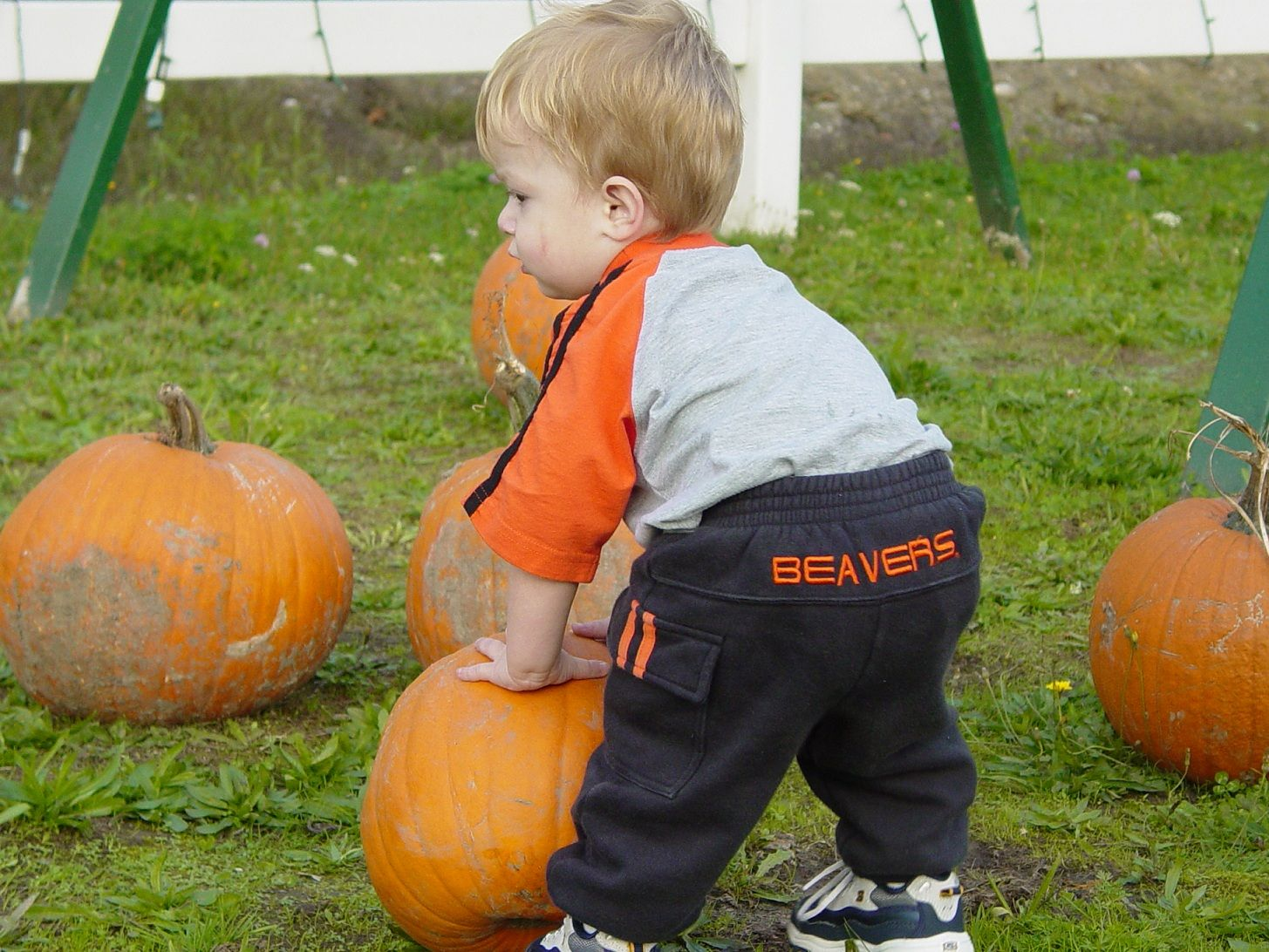 Young Beaver Fan Searching For The Perfect Orange Pumpkin