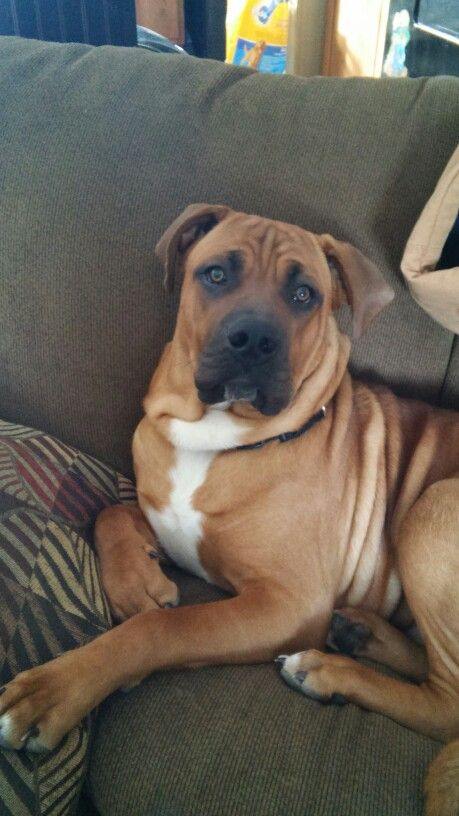 Parker a boxer mastiff mix and love of our life. | buckeye ...