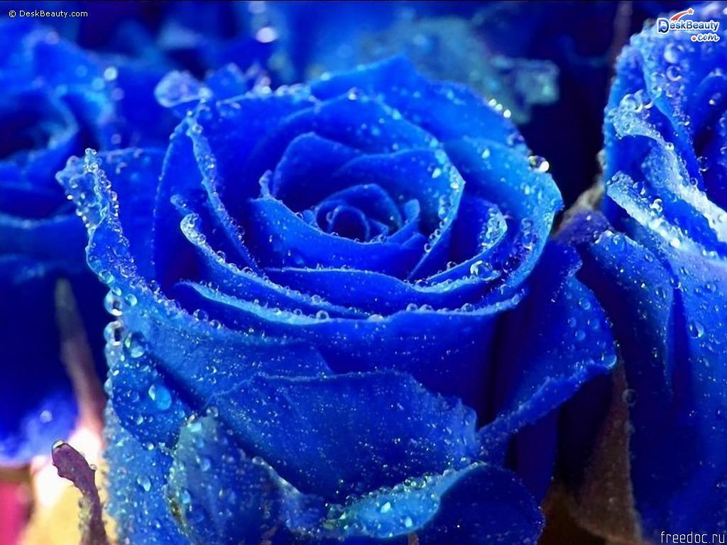 Blue Roses Gardens Pinterest Blue Roses Blue Flowers And Blue