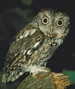 Owls in Florida: A Look at the Different Types of Owls in Florida