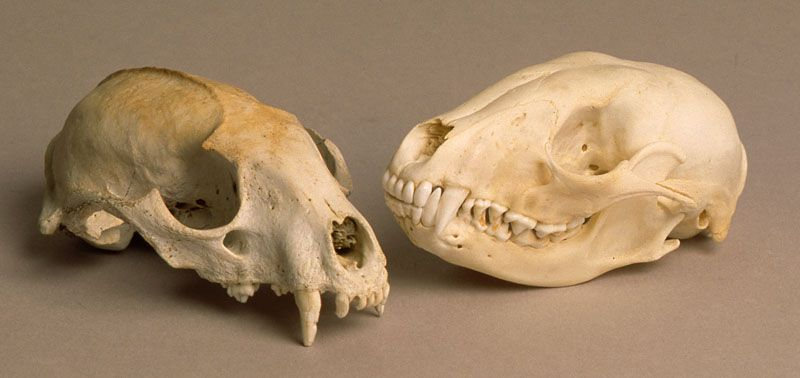 Rodent Skull Identification