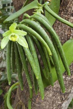 Você não conhece a fava de baunilha? Você sabia que a planta que produz a fava, tem como flor a orquídea? A fava é uma vagem da planta, é o fruto dela.
