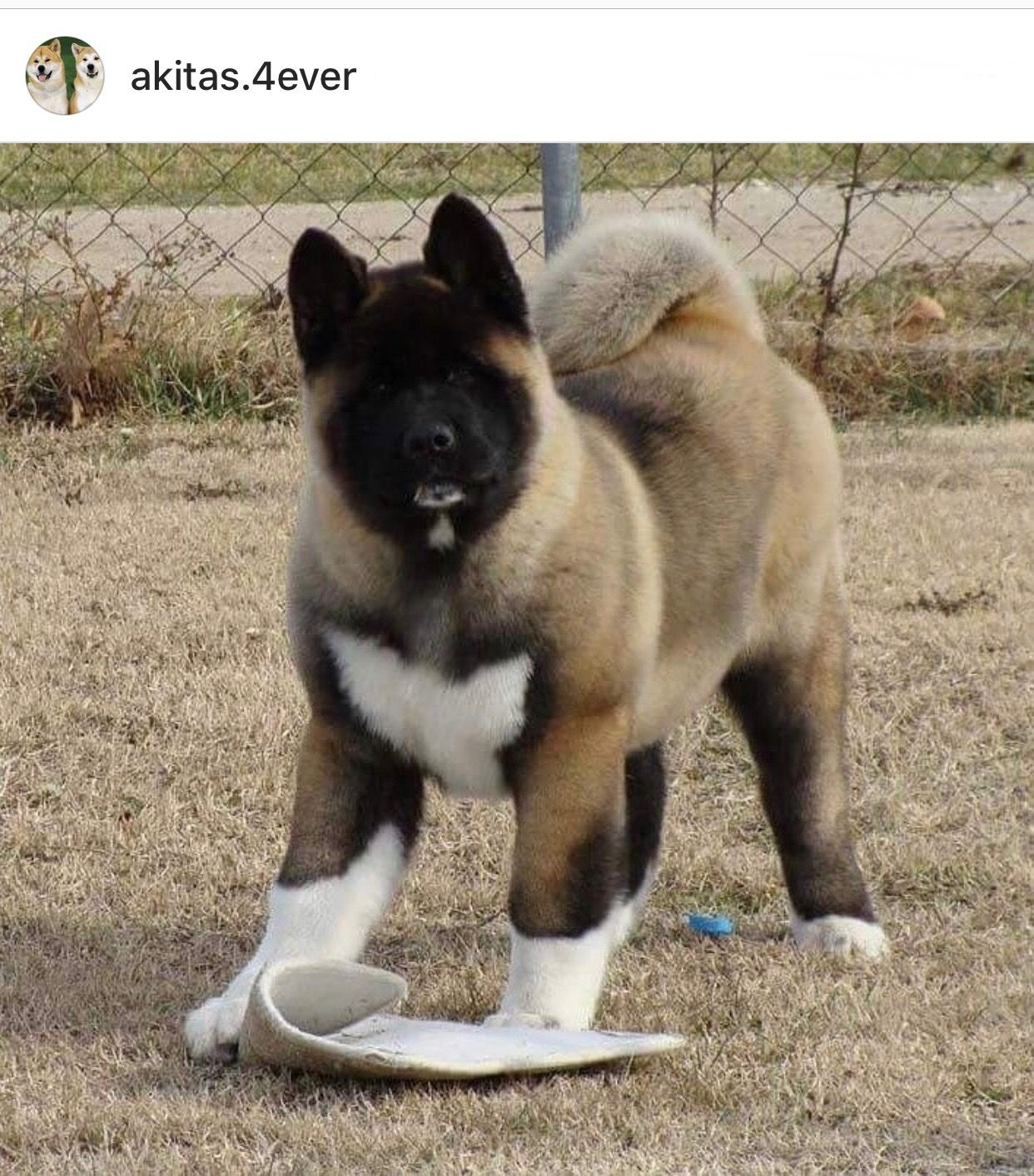 Akitapuppy Wow This Looks Just Like My Akita When She Was A Pup