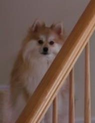 Stacey, a pom in need of a good home.