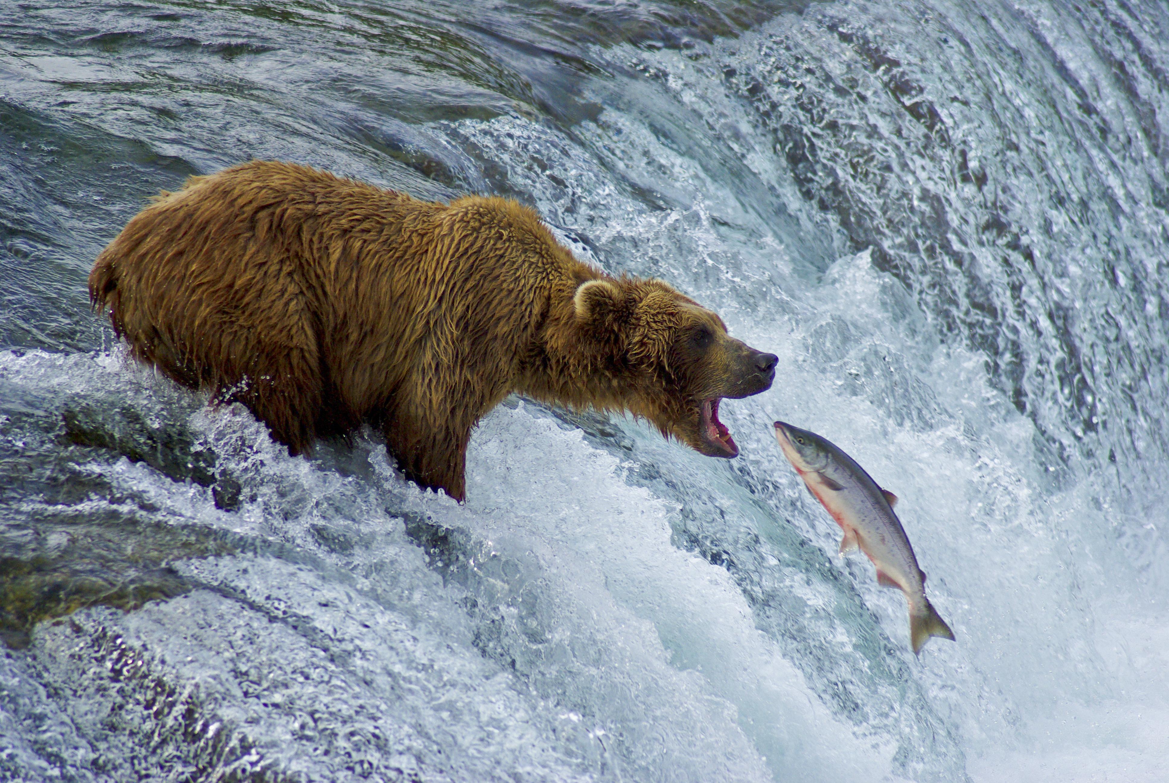 Bear Catching Fish Grizzly Salmon Bear Fishing Bear Catching