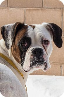 Manitoba Lola Is A Tricolor Boxer Mix In Need Of A Loving