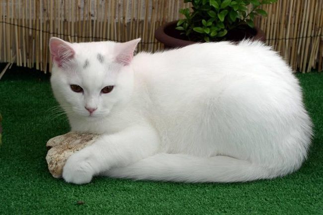 White American Shorthair Cats Pets Photos Cat Breeds With
