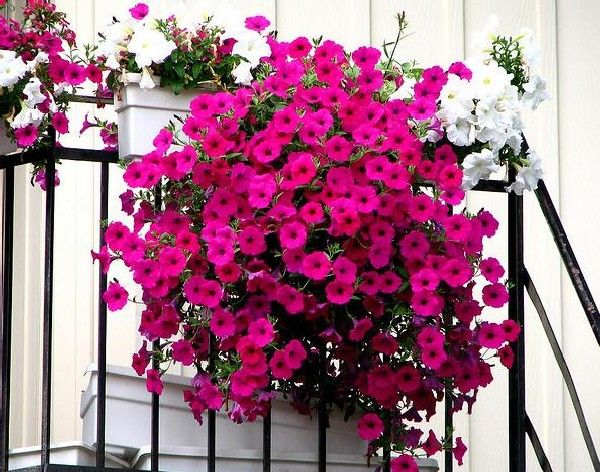 Petunias Are Great In Hanging Baskets And Window Boxes Tip Deadhead Your Petunias For Best Results Flowers Perennials Hanging Flower Baskets Container Flowers