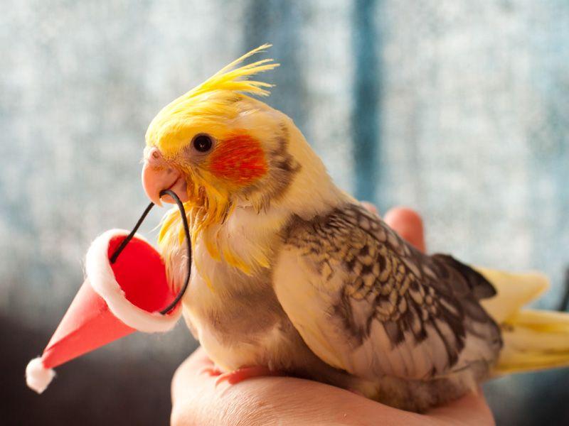 Cute Cockatiel Wallpaper Cute Cockatiel Google Search C U T E Cute Birds Pet