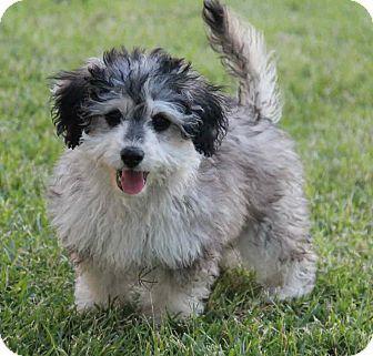 Poodle Miniature Scottie Scottish Terrier Mix Puppy For