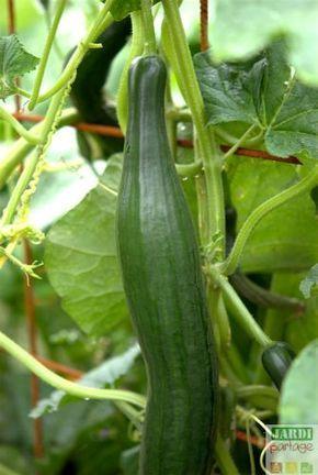 Culture du concombre: du semis à la récolte | Culture ...