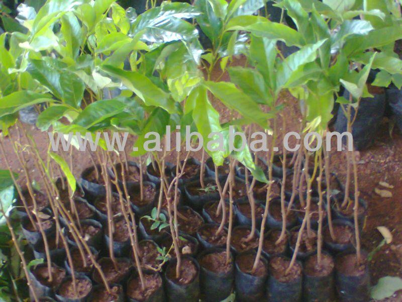 Rambutan Plants Buy Plants And Flowers Product On Alibaba Com Fruit Tree Nursery Plants Buy Plants