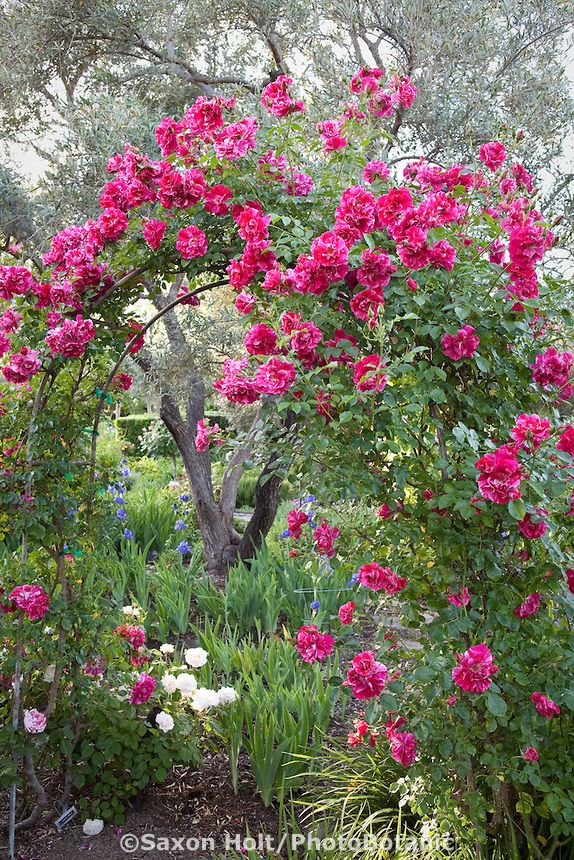 Large flowered climbing rose rosa 39 shadow dancer 39 on trellis arch by olive tree in california - Climbing rose trellis ...