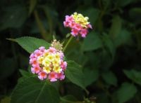Growing Lantana Plants Indoors Care Tips And Pictures Lantana Plant Plants Flower Pots