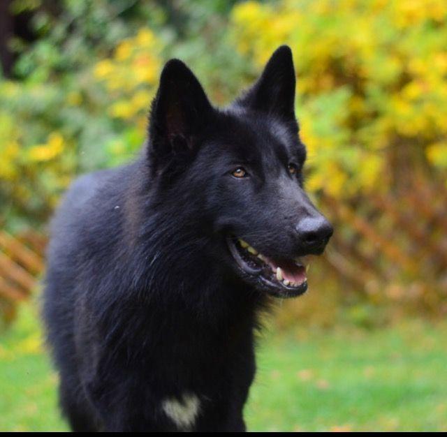 Black Tamaskan Tamaskan Dog Northern Inuit Dog