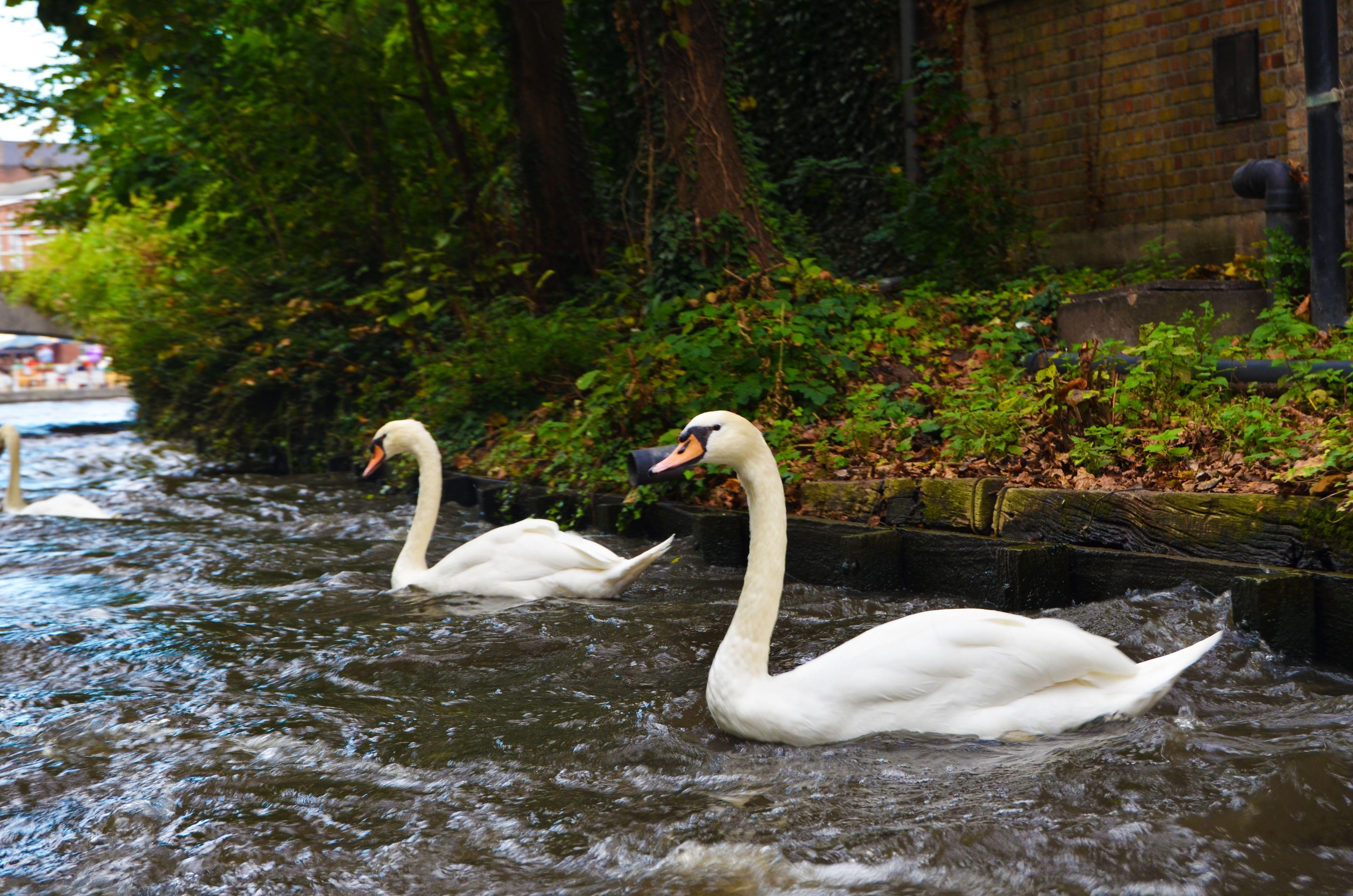 Patos en el canal de Brujas