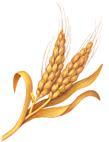Two Stalks Of Dried Wheat Stock Art Wheat Drawing Herb Art