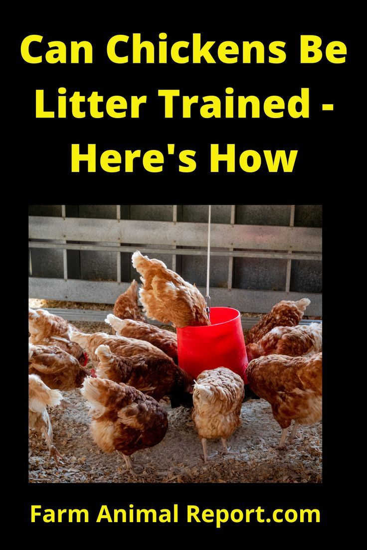 Can you litter train a chicken heres how in 2020