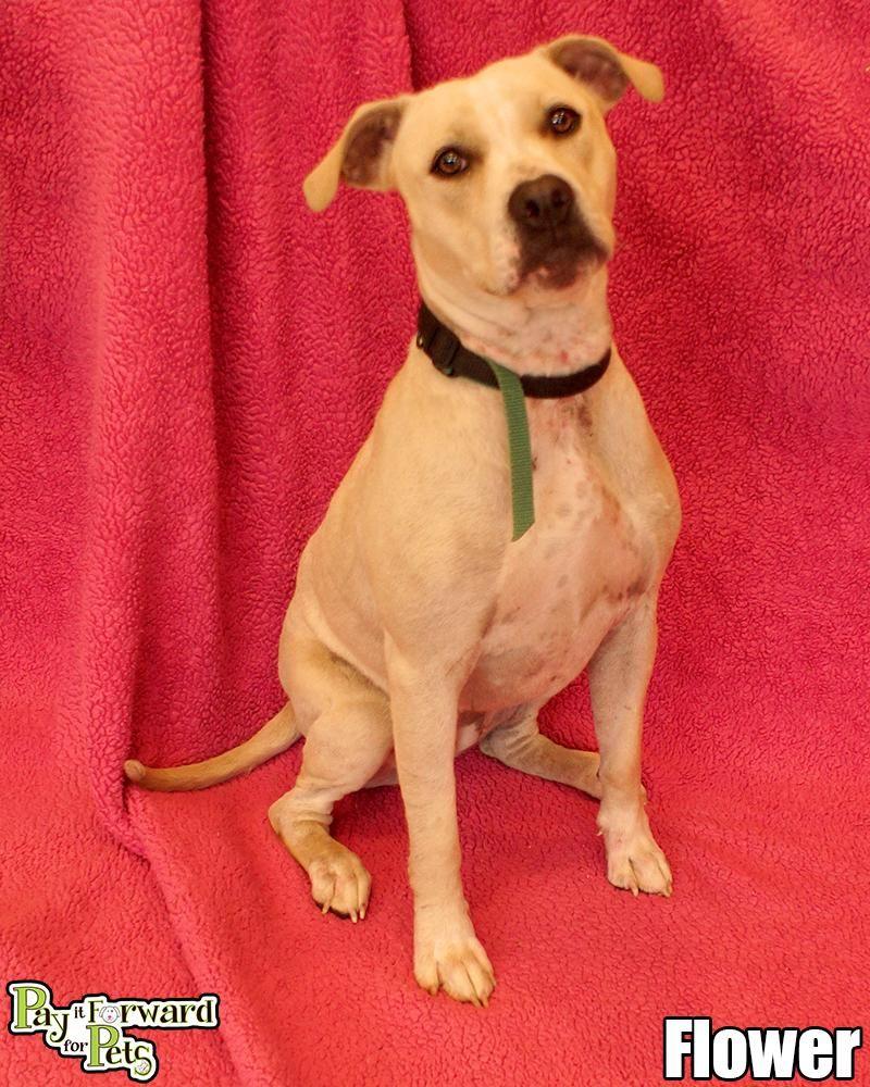 Adopt Flower On Petfinder Adoption American Animals Dog Adoption