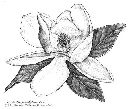 Southern Bay Magnolia Magnolia Grandiflora Alta Aislinn Adams Botanical Drawings Botanical Illustration Flower Drawing