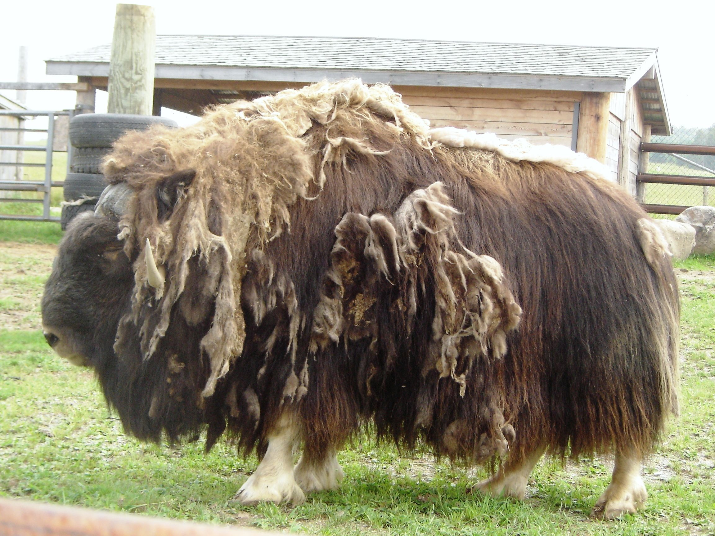 A Musk ox, which is shedding.
