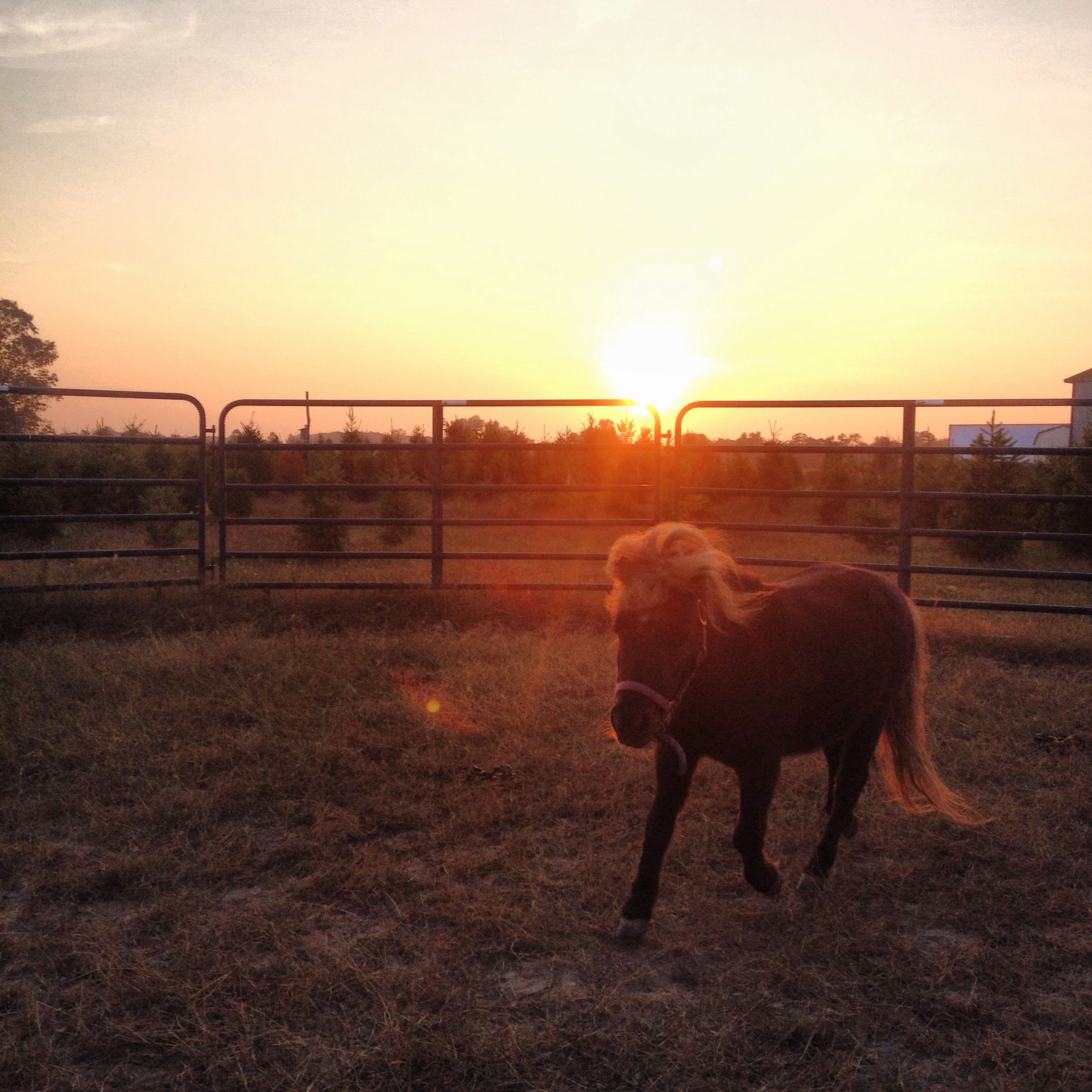Sunset with Maple the mini horse